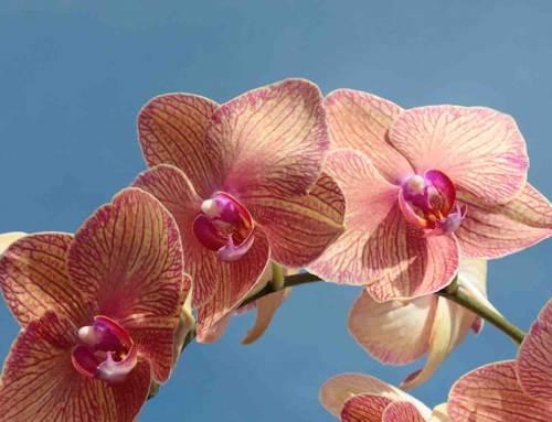 Phalaenopsis Golden Treasure, in de schijnwerpers
