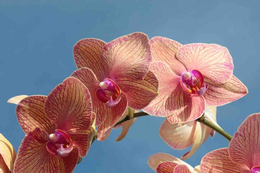 Phalaenopsis Golden Treasure