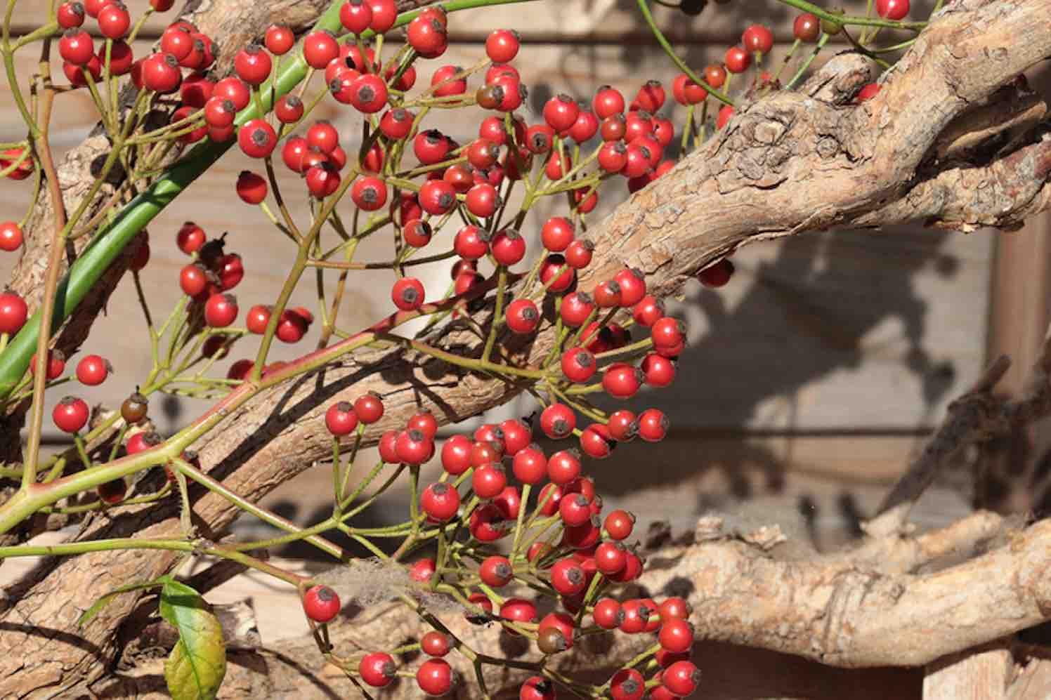 Rozenbottel 'Autumn Joy' & 'Autumn Spirit'