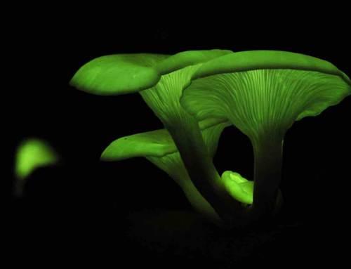Lichtgevende paddenstoelen in Hortus botanicus Leiden
