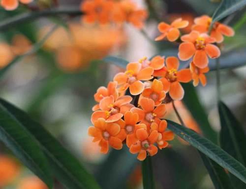 Euphorbia fulgens, in de schijnwerpers