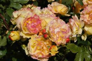 excellente rozen