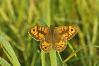 vlinders, argusvlinder
