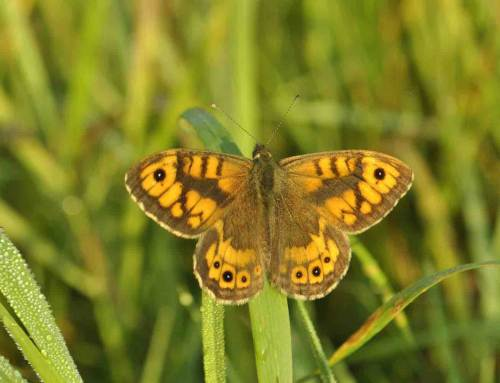 Vlinders profiteren van gericht maaibeheer