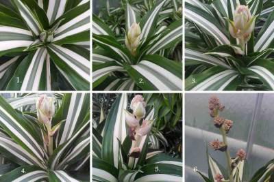 dracaena staat in bloei