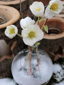 Helleborus niger WinterFashion