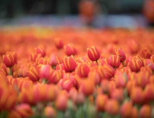 TIP: Tulpenrondleiding door tulpengebied Heemskerk