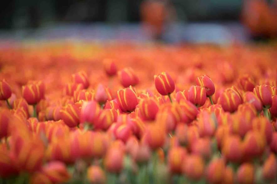 Tulpenrondleiding tulpen