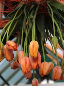 franse tulp