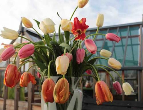 Franse tulp, in de schijnwerpers
