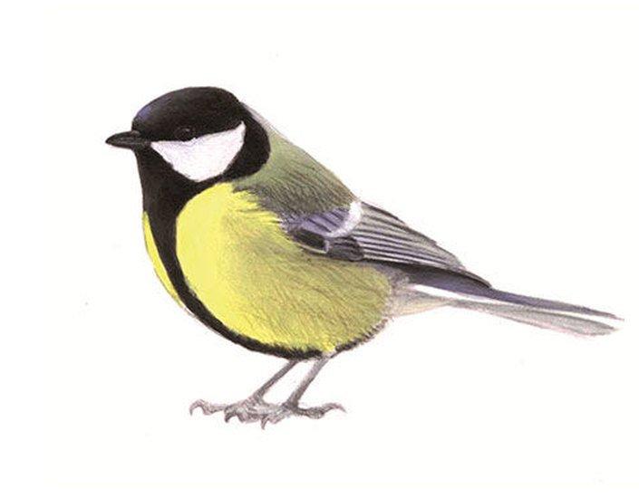 koolmees vogeltelling