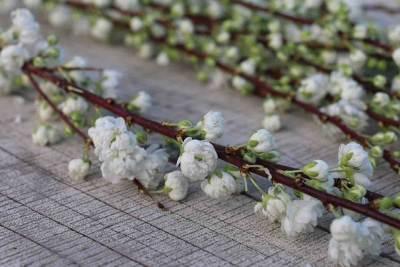 witte prunus