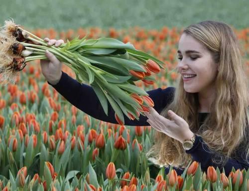 Tulp Amalia Catharina schittert op Tulpendag