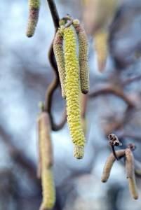 tuinplanten corylus