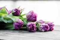 tulipa purple piony