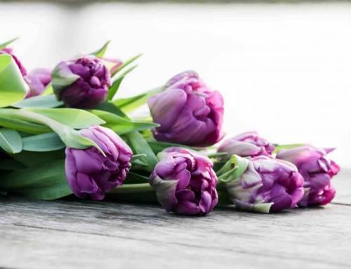 Tulipa Purple Piony, in de schijnwerpers