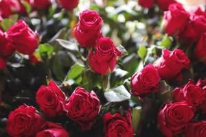 rozen, valentijnsdag