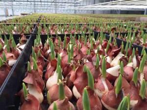 helleborus tulpen