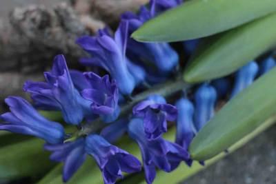 Hyacint Dark Ocean