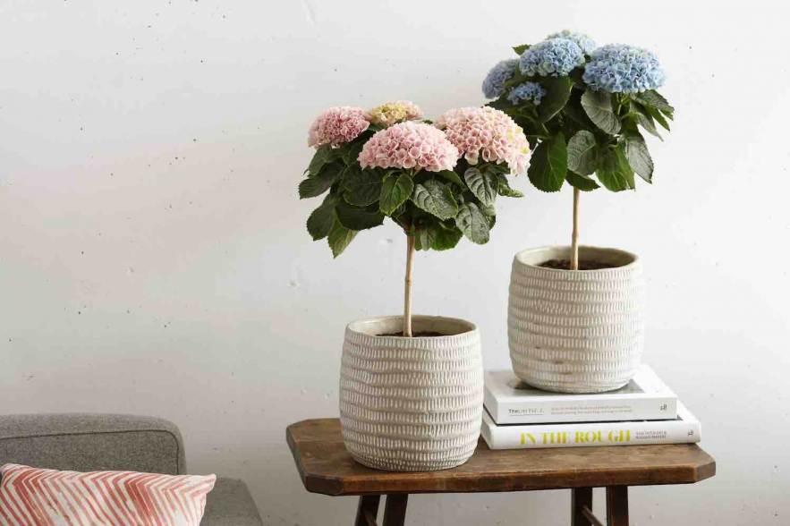 hortensia-bloemenboompje
