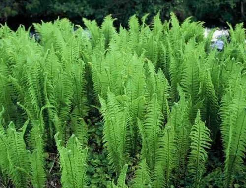 9 Schaduwplanten maken je tuin groen én regenbestendig
