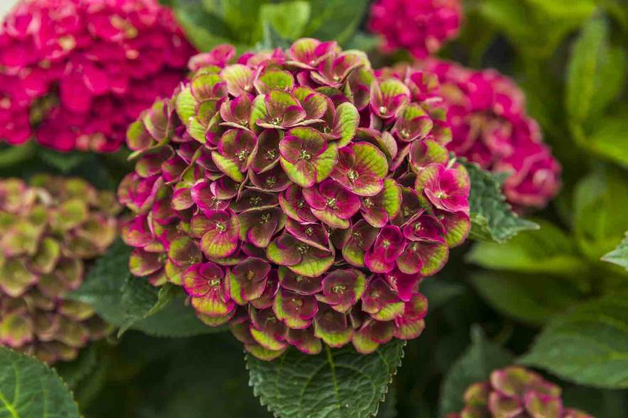 magical hortensia