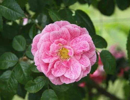 Roos, elegantie die in elke tuin past