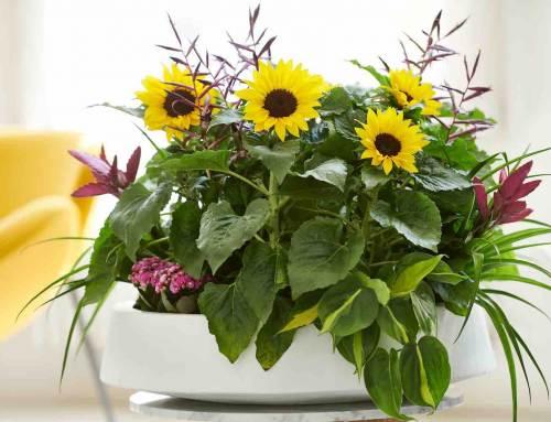 Potzonnebloem Sunsation voor vrolijke zomer