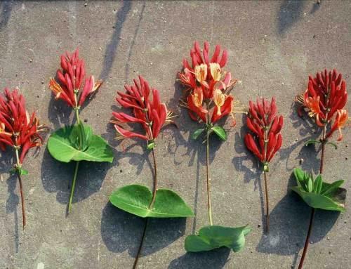 Kamperfoelie, tuinplant van de maand juni