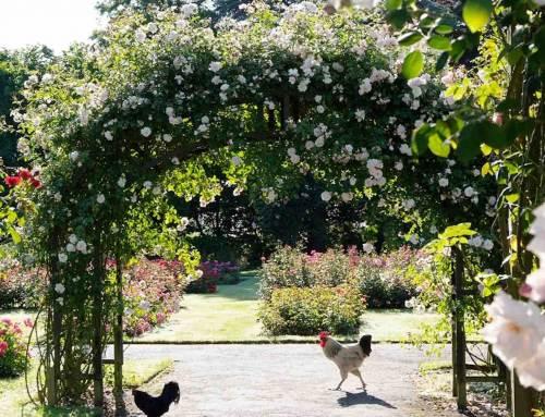 Rozengeur in je tuin: heerlijk toch!