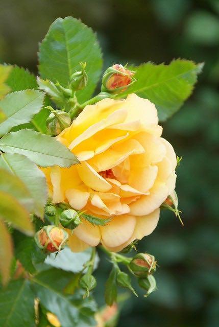 rozen, rozengeur