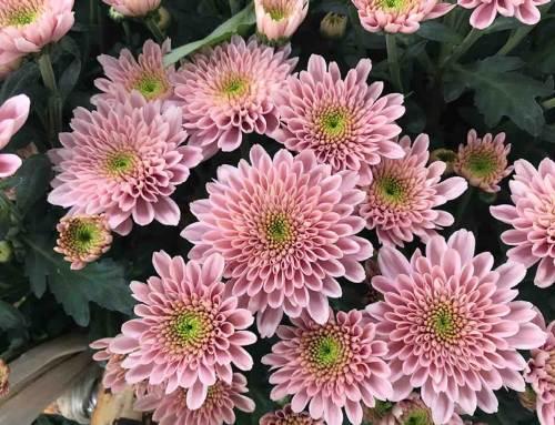Chrysanthemum Berry in de schijnwerpers