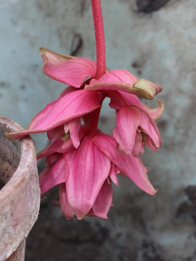 Medinilla magnifica Dolce Vita