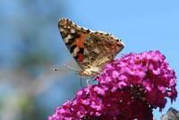 vlindertelling, vlinders