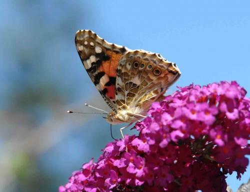 Vlinderstichting organiseert vlindertelling in tuinen