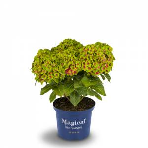 Hortensia Magical Green Delight