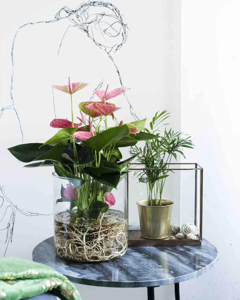 Hydroponie Anthurium
