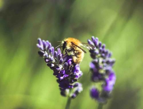 Lavendel houdt van bijen en vlinders