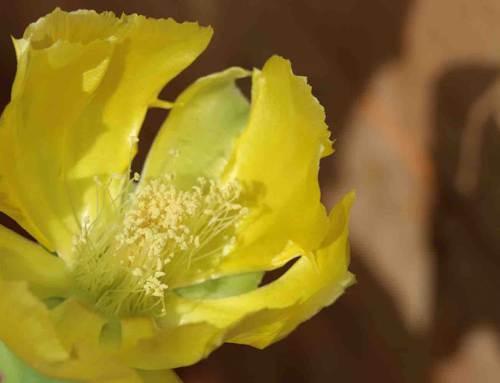 Schijfcactus, Opuntia ondulata in de schijnwerpers