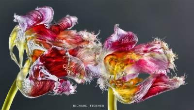 Topfotograaf en 'bloemenambassadeur' Richard Fischer komt naar Nederland Tentoonstelling in Flower Art Museum in najaar 2019