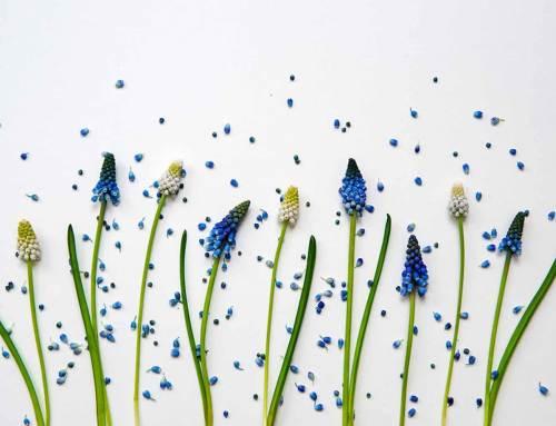 Blauw druifje, muscari, bloembol van het jaar