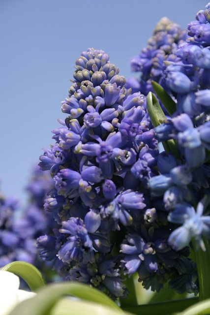 blauw druifje, muscari