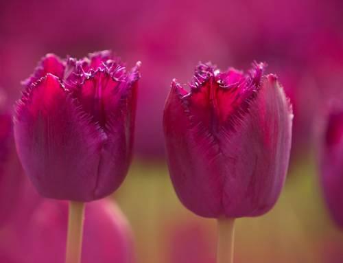 Tulpen, 10 weetjes over dit Hollands icoon