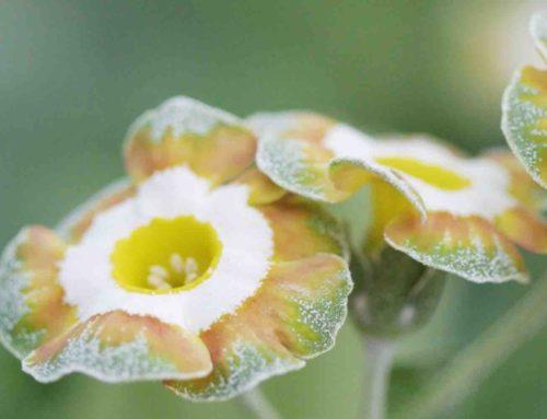'Ik ben verliefd op de Show Primula Auricula'