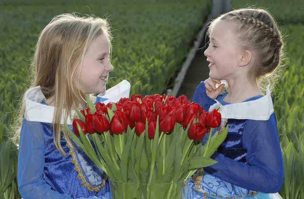 tulipa-make-a-wish