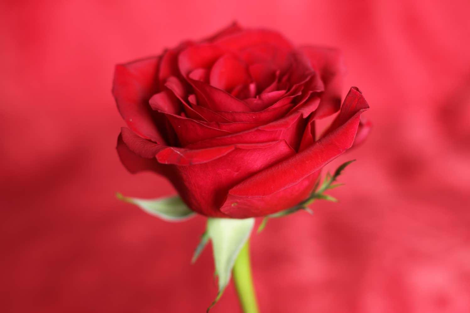 rozen op uitvaart