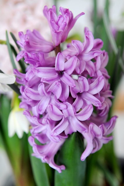 hyacinten bollen-op-potten