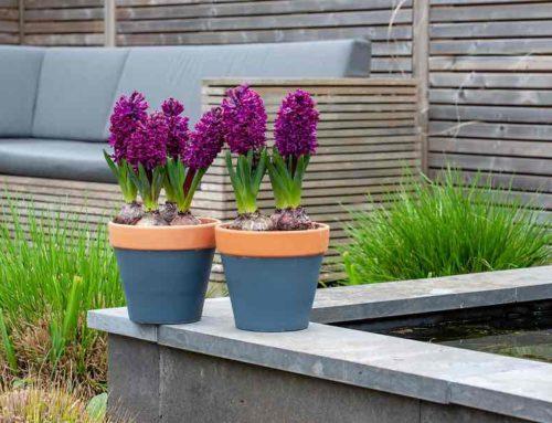 Hyacint, bloem van de zonnegod Apollo