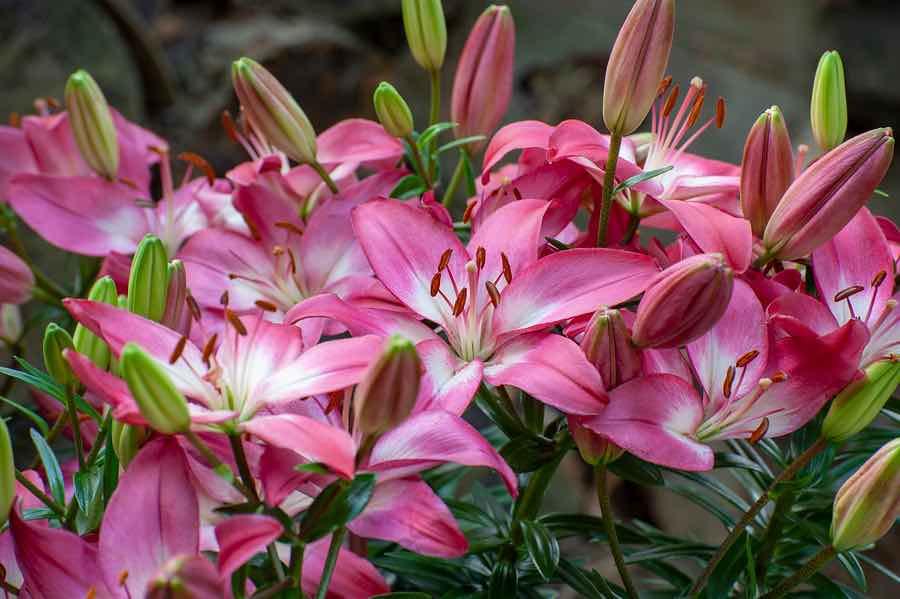 bloembollen zomerbloeiers