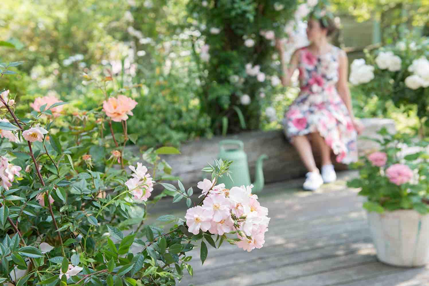 rozen nu planten